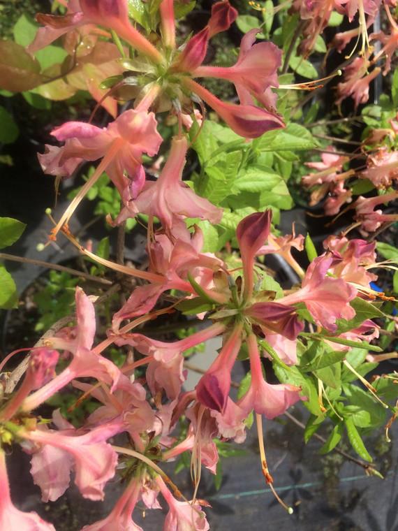 Rhododendron flammeum x alabamense 'Purple Haze'