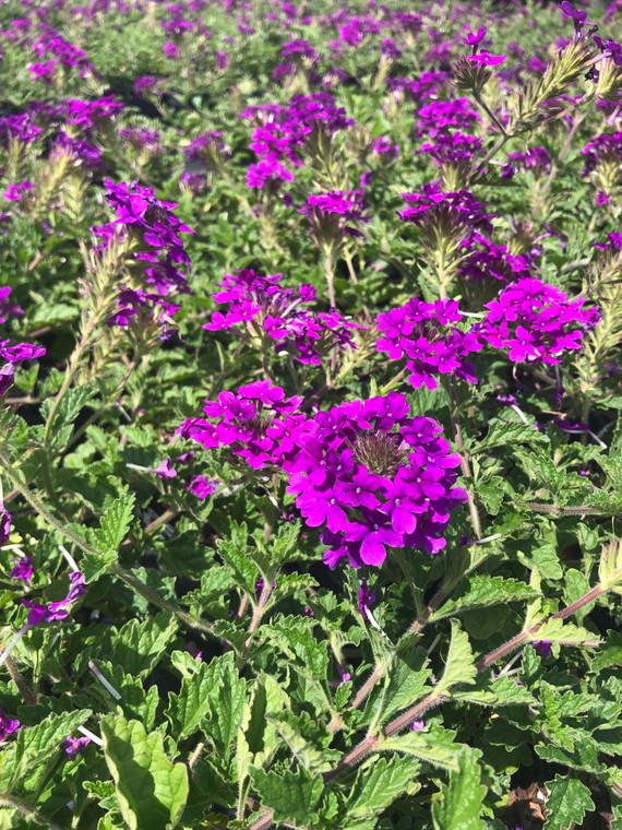 Verbena canadensis 'Homestead Purple' 1gallon