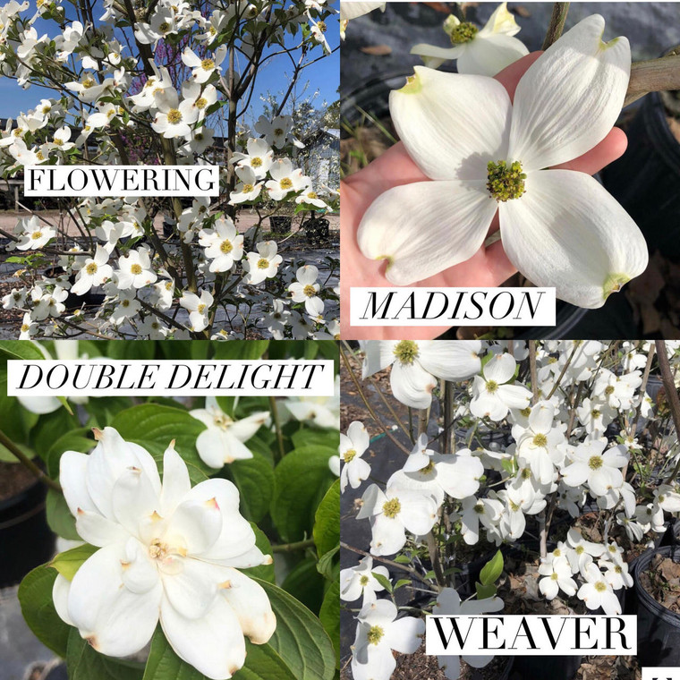 DOGWOOD COLLECTION: Madison, Weaver, Double Delight, & Flowering