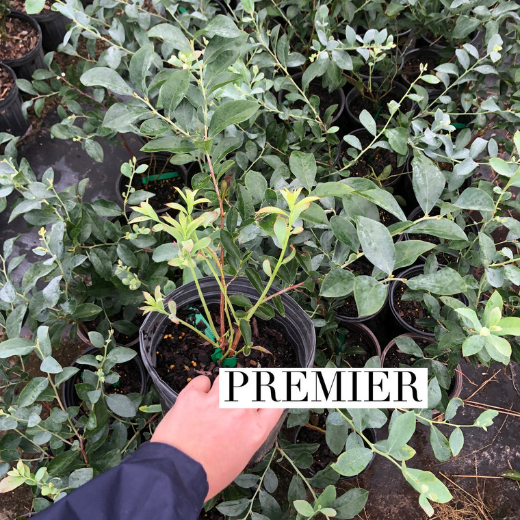 BLUEBERRY COLLECTION: 4 PLANTS-Brightwell, Vernon, Premier, Ochlocknee
