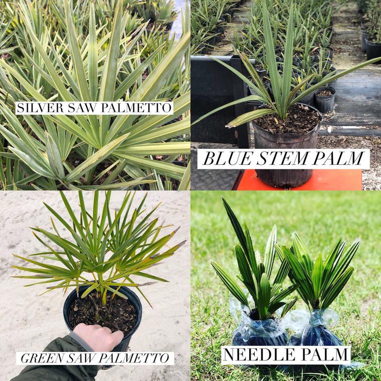 PALM COLLECTION: Needle Palm, Blue Stem Palm, Green Saw Palmetto, & Silver Saw Palmetto