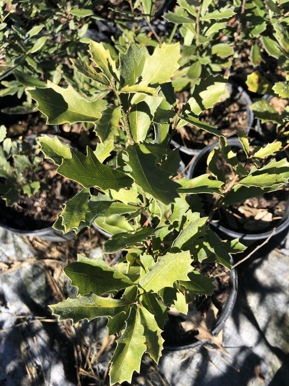 Quercus minima Dwarf Live Oak