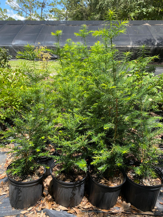Torreya taxifolia Florida Torreya unsexed 3 gallon