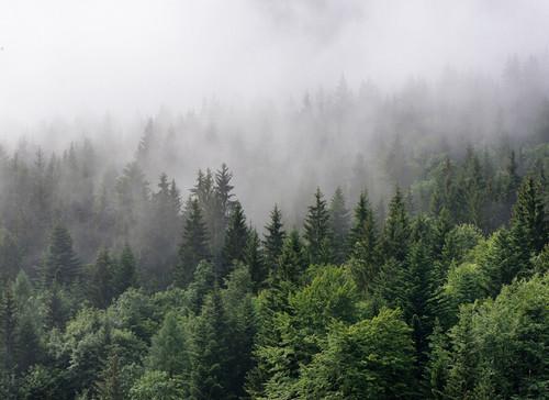 Foggy Fir Trees Mural