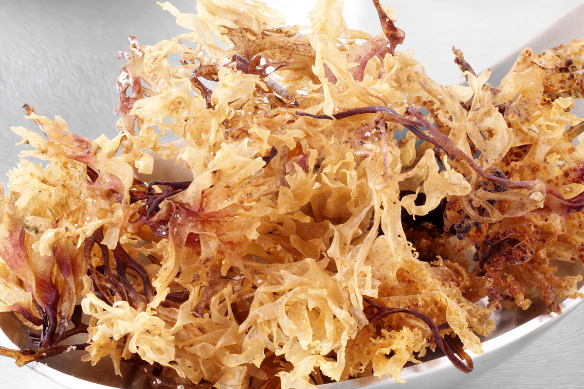 Irish Moss, The Super Nutritious Algae Weed of the Sea