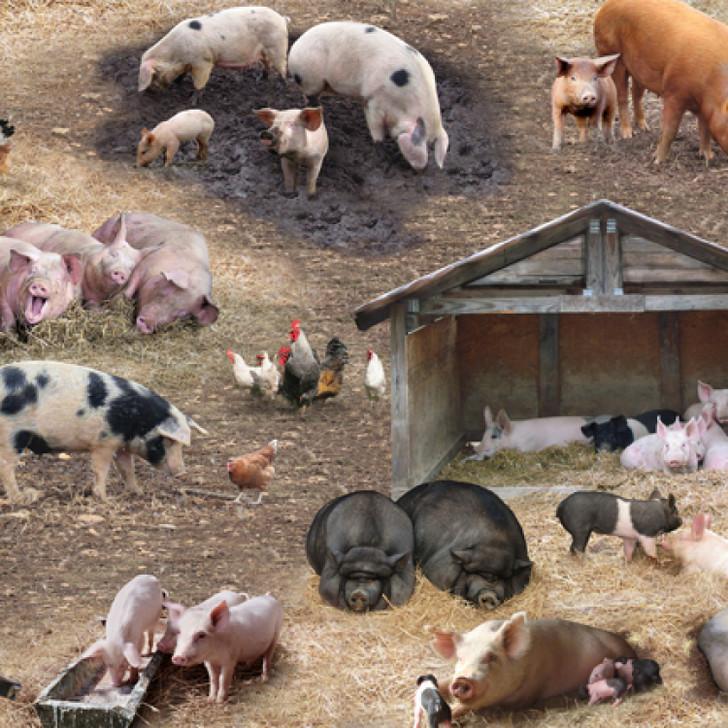 Farm Animals Pigs Scenic Brown Cotton Quilting Fabric