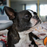 Cute Frenchie with Paw Wave Buzz