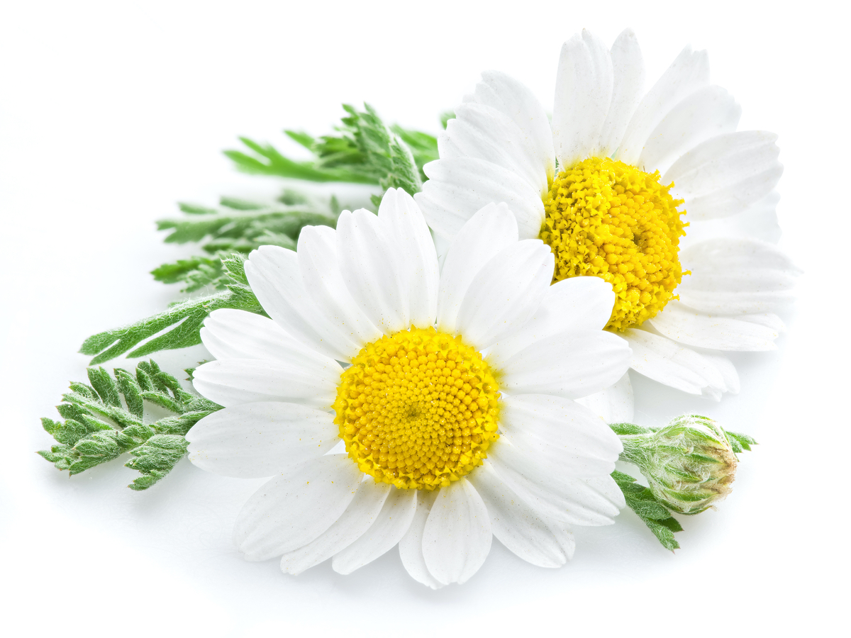Chamomile Flower Extract Ingredient