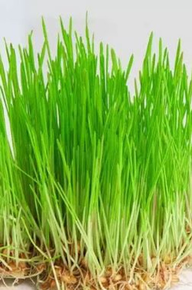 Wheatgrass Sprouts Organic 100g (Energetic)