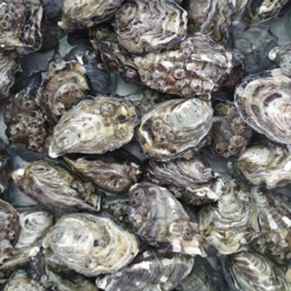 Coffin Bay Oysters Pacific Popped Extra Large Live 1 Dozen