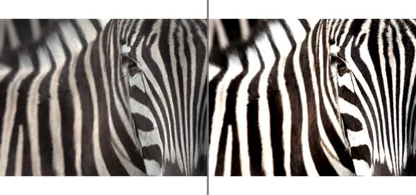 high contrast zebra