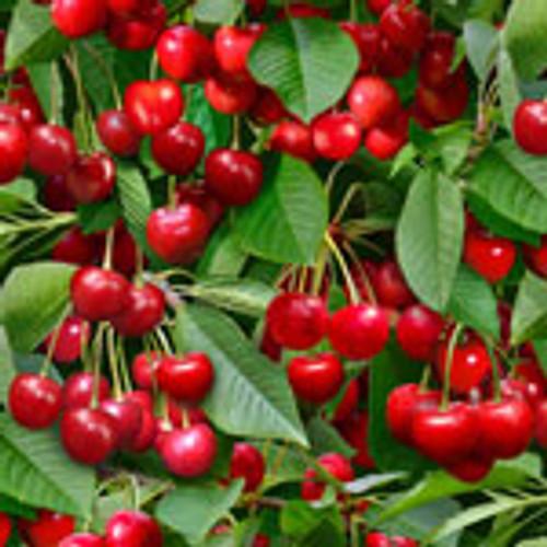 Berry Good Cherry Tree Green - Elizabeth's Studio Cotton - 1/2 yard