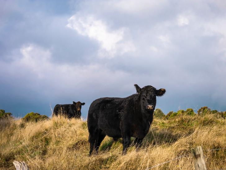 Black Angus Cow Beef