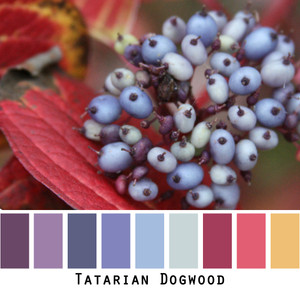 Tatarian dogwood photograph by Inese iris liepina made into a color card for inspiring Wrapture by Inese knitwear.