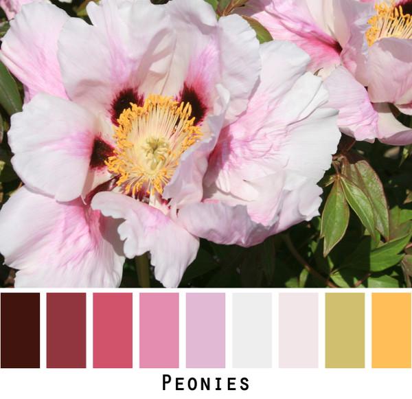 Peonies - pink yellow fuchsia purple rose plum colors for blue eyes, green eyes, brown eyes, blonde hair, brunette, photo by Inese Iris Liepina, Wrapture by Inese