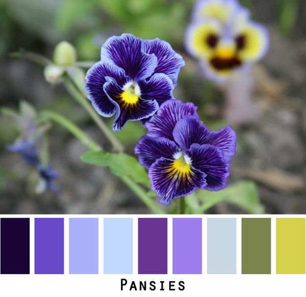 Pansies - lavender purple sky blue green colors for blue eyes,  brown eyes, blonde hair,  black hair, gray hair - photo by Inese Iris Liepina, Wrapture by Inese