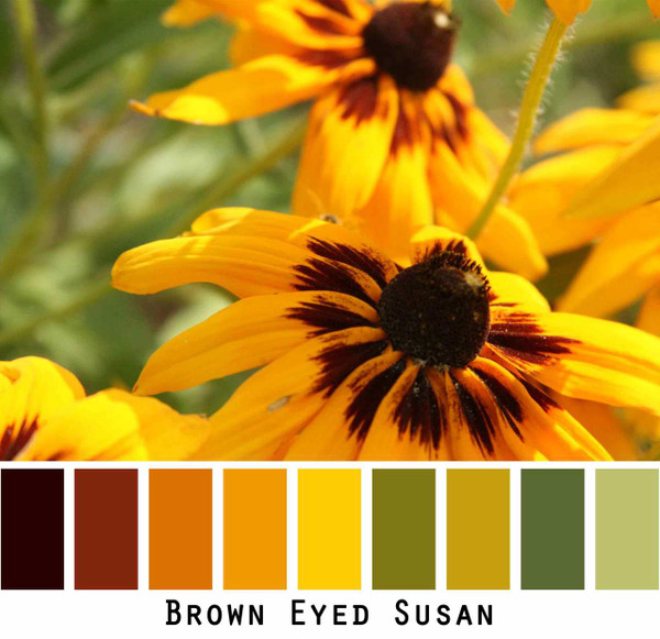 Brown Eyed Susan, bright yellow and brown flowers with green meadow grass. Photograph by Inese Īris Liepiņa