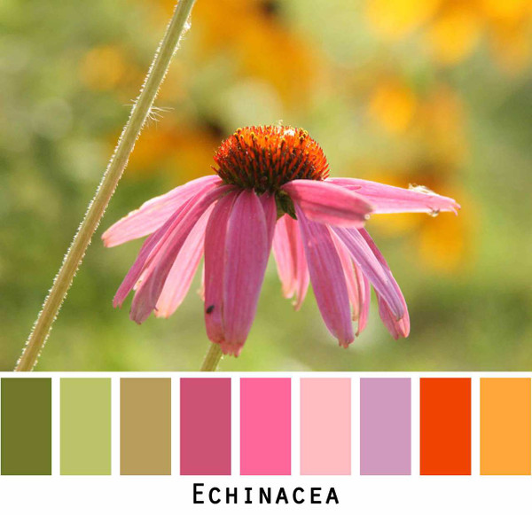 Echinacea purple pink flowers in green grass meadow, photographed by inese Iris Liepina