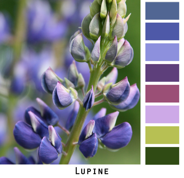 Lupine flower closeup with  purple, violet, lavender, navy blue, green colors in a photo by Inese Iris Liepina made into a color card for custom ordering from Wrapture by Inese