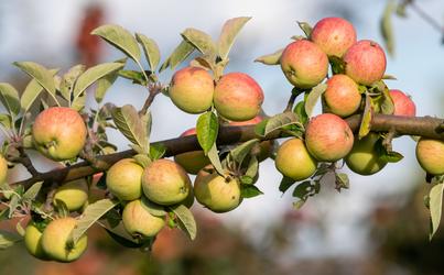 Does Apple Cider Vinegar Boost Your Immune System?