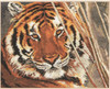 Tiger Cross Stitch Kit by Alisa