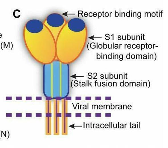 SARS-CoV-2 full-length Trimeric Spike Recombinant Antigen B.1.429 Mutation (U.S. California Variant)