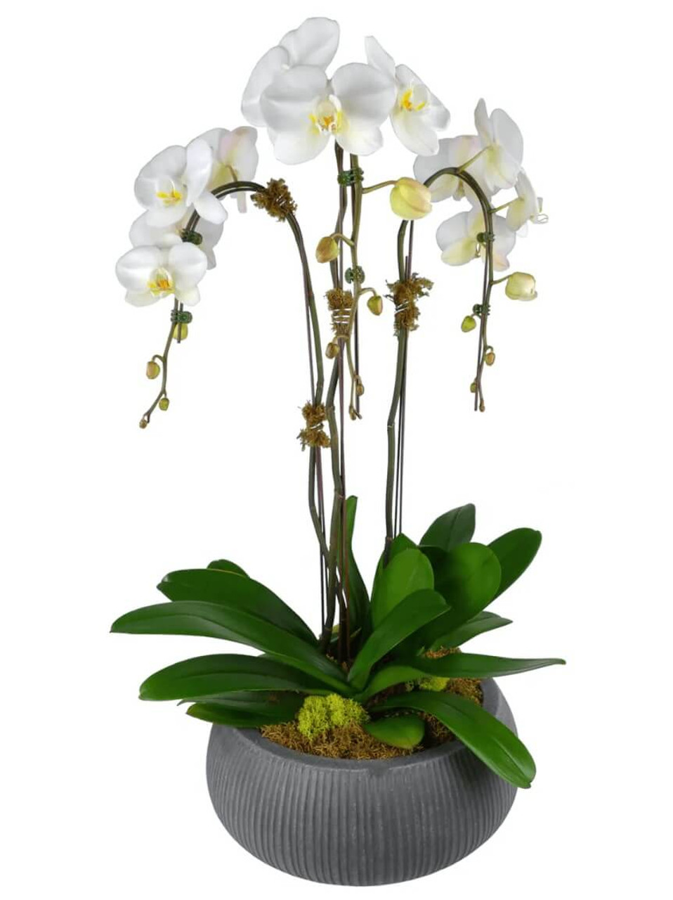 Triple Phalaenopsis Potted White Orchid