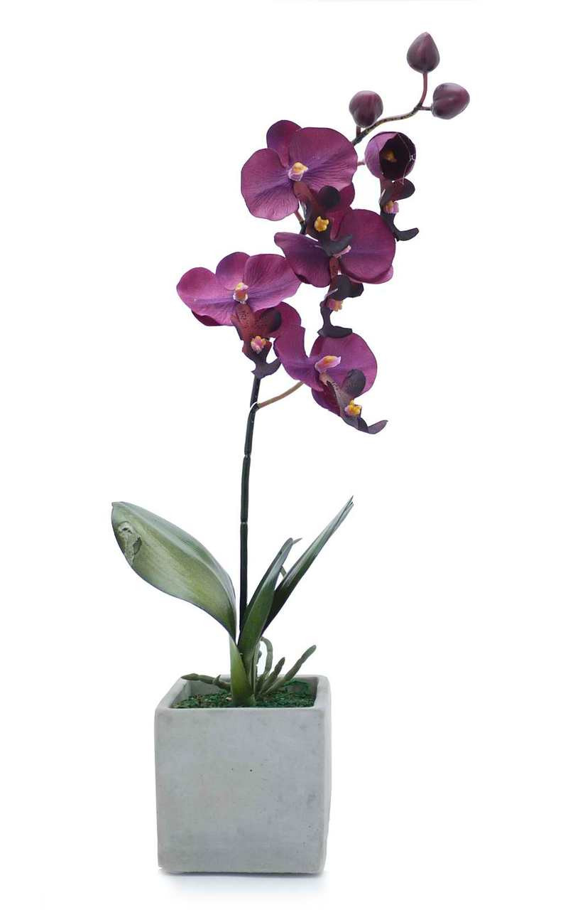 Potted Violet Orchid
