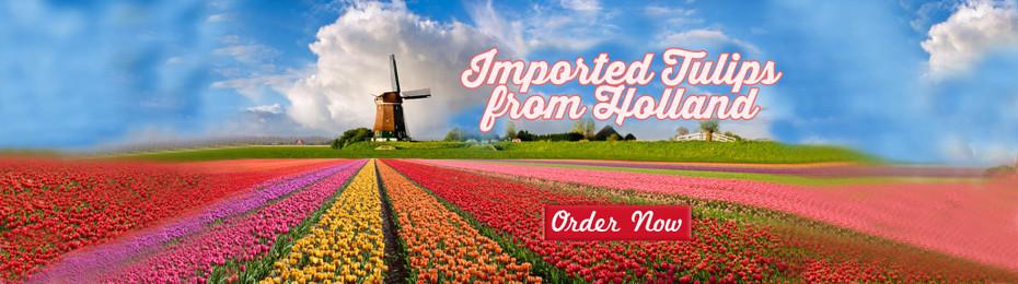 Holland Tulips in Manila