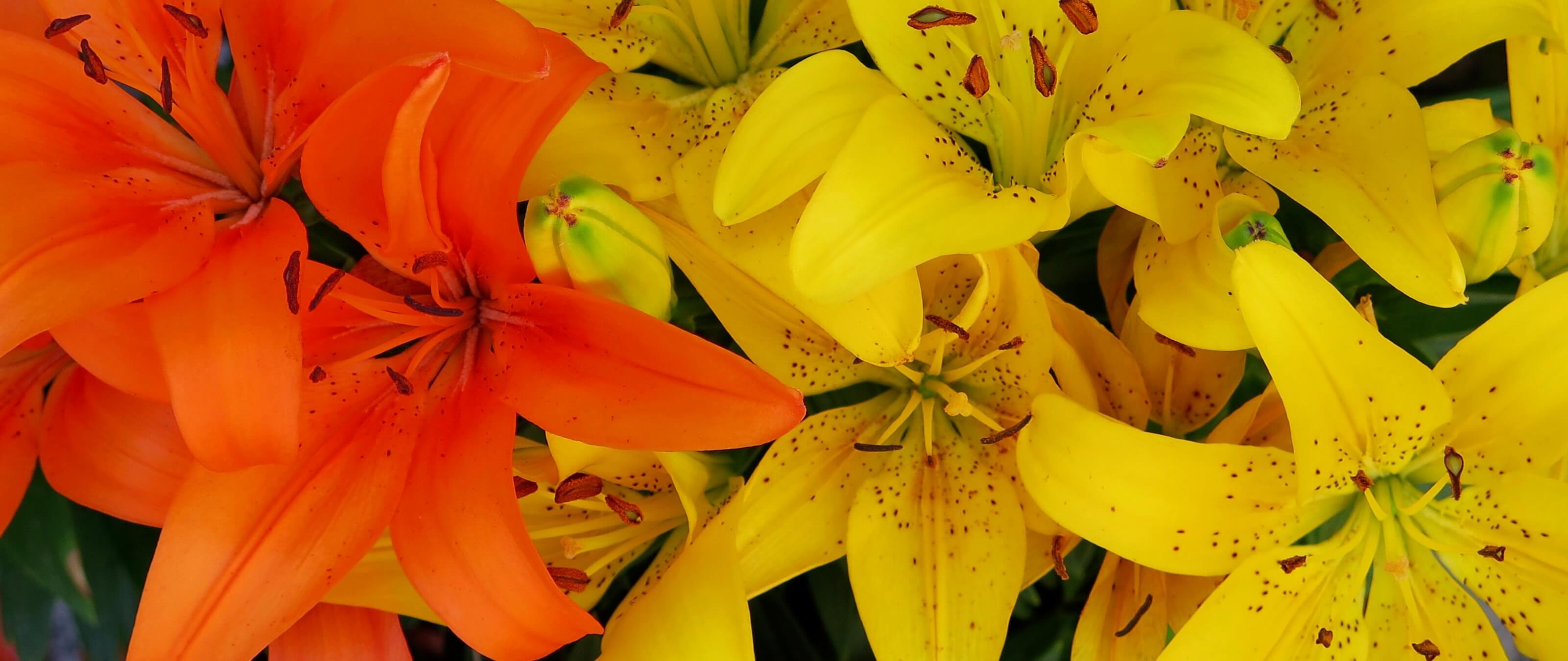 lilies-banner.jpeg