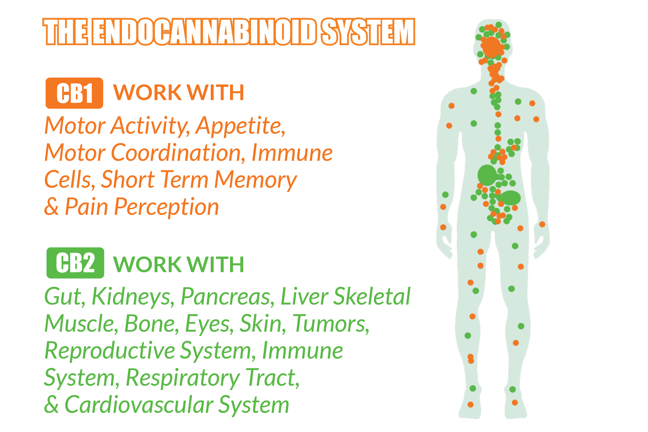 Endocannabinoid system and what functions it effects in the body