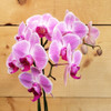 Rustic Orchid (SCF17F17)  Beautiful orchids and plants delivered by Savilles Country Florist