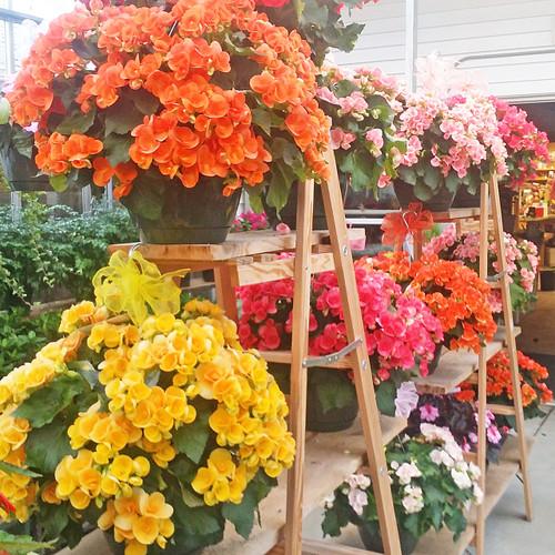 """Begonia Hanging Basket 10"""" (SCF17S52)"""
