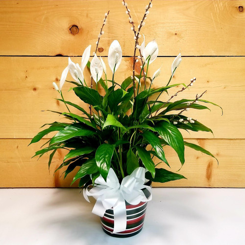 Peace Lily - Spathiphyllum (SCF19D18) by Savilles Country Florist.  Flower and Plant delivery to Orchard Park, NY and the surrounding area including same day delivery to Hamburg, West Seneca, East Aurora, Blasdell and Buffalo NY