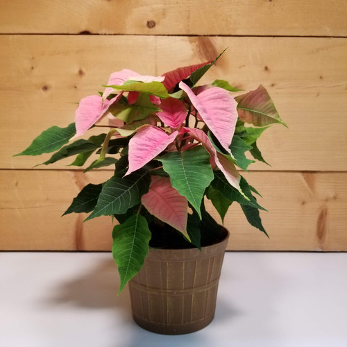 Poinsettia - Pink (SCF19C12) by Savilles Country Florist.  Christmas Flower Arrangements, Centerpieces and Plant delivery to Orchard Park, NY and the surrounding area including same day delivery to Hamburg, West Seneca, East Aurora, Blasdell and Buffalo NY