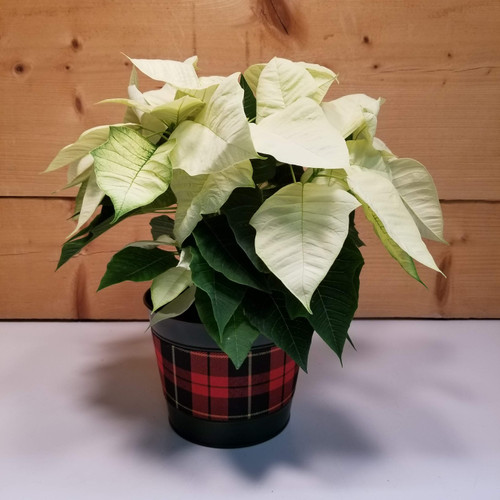 Poinsettia - White 6.5 inch (SCF19C13) by Savilles Country Florist.  Flower and Plant delivery to Orchard Park, NY and the surrounding area including same day delivery to Hamburg, West Seneca, East Aurora, Blasdell and Buffalo NY