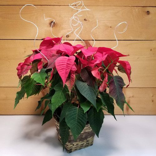 Poinsettia - Red 8 inch (SCF19C15) by Savilles Country Florist.  Flower and Plant delivery to Orchard Park, NY and the surrounding area including same day delivery to Hamburg, West Seneca, East Aurora, Blasdell and Buffalo NY