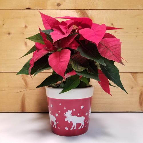 Poinsettia - Red 6.5 inch - Moose (SCF19C16) by Savilles Country Florist.  Flower and Plant delivery to Orchard Park, NY and the surrounding area including same day delivery to Hamburg, West Seneca, East Aurora, Blasdell and Buffalo NY