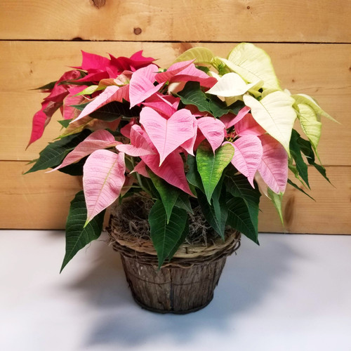 Poinsettia - TriColor 8 inch (SCF19C17) by Savilles Country Florist.  Flower and Plant delivery to Orchard Park, NY and the surrounding area including same day delivery to Hamburg, West Seneca, East Aurora, Blasdell and Buffalo NY