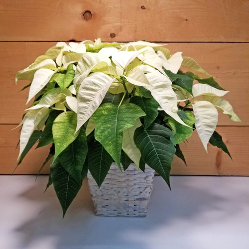 Poinsettia - White 8 inch (SCF19C18) by Savilles Country Florist.  Flower and Plant delivery to Orchard Park, NY and the surrounding area including same day delivery to Hamburg, West Seneca, East Aurora, Blasdell and Buffalo NY