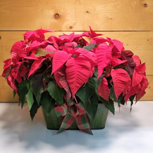 Poinsettia - Double Red 8 inch (SCF19C21) by Savilles Country Florist.  Flower and Plant delivery to Orchard Park, NY and the surrounding area including same day delivery to Hamburg, West Seneca, East Aurora, Blasdell and Buffalo NY