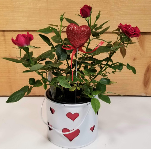 Valentine Rose Bush (SCF20V01) by Savilles Country Florist.  Flower and Plant delivery to Orchard Park, NY and the surrounding area including same day delivery to Hamburg, West Seneca, East Aurora, Blasdell and Buffalo NY