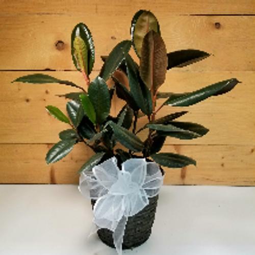 Ficus / Rubber Plant (SCF20D55)