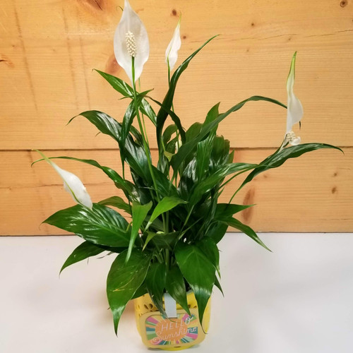 Hello Sunshine Peace Lily (SCF20D59)