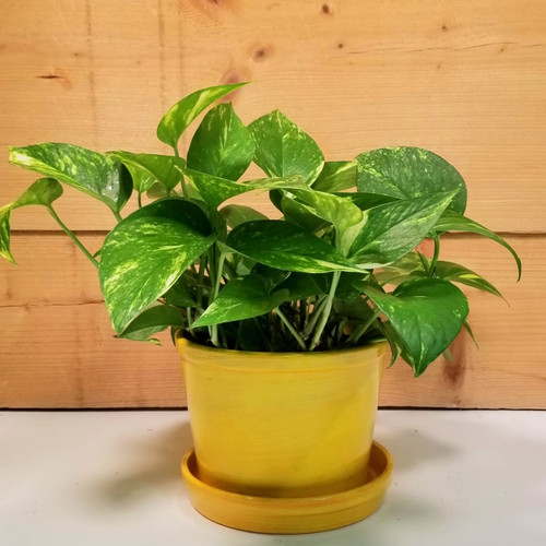Pothos House Plant (SCF20D67)