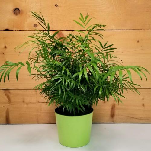 Neanthe Bella Palm House Plant (SCF20D68)