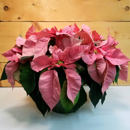 Poinsettia - Pink 8 inch