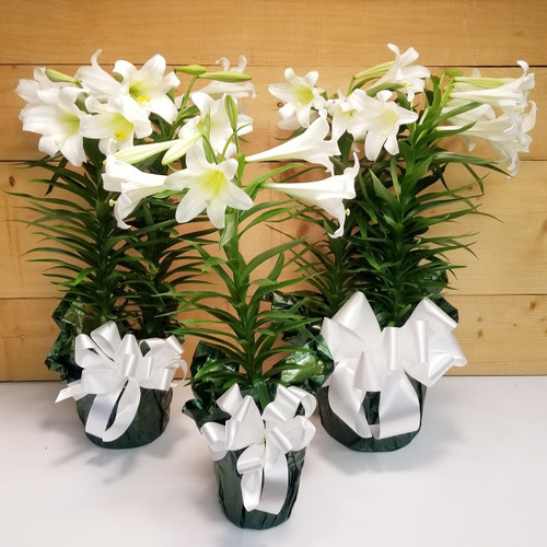 Easter Lily Plant (SCF19D29) by Savilles Country Florist.  Flower and Plant delivery to Orchard Park, NY and the surrounding area including same day delivery to Hamburg, West Seneca, East Aurora, Blasdell and Buffalo NY