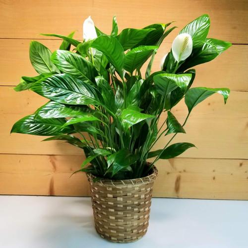 Peace Lily Spathiphyllum Floor Plant (SCF20D33)