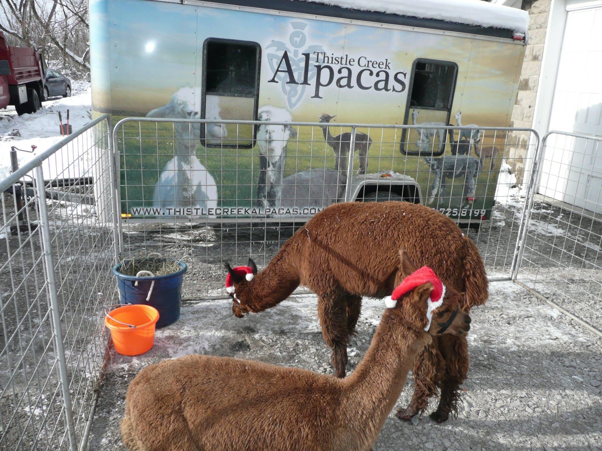 alpacas-2.jpg